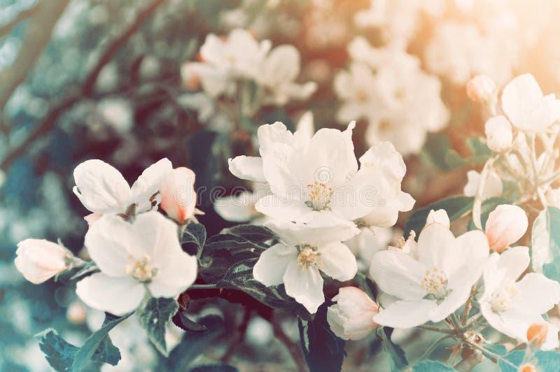 开花的苹果树-在淡色减速火箭的口气的天然泉花卉背景春天花  图库摄影