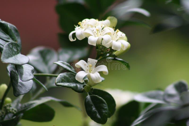 开花的茉莉花 库存图片