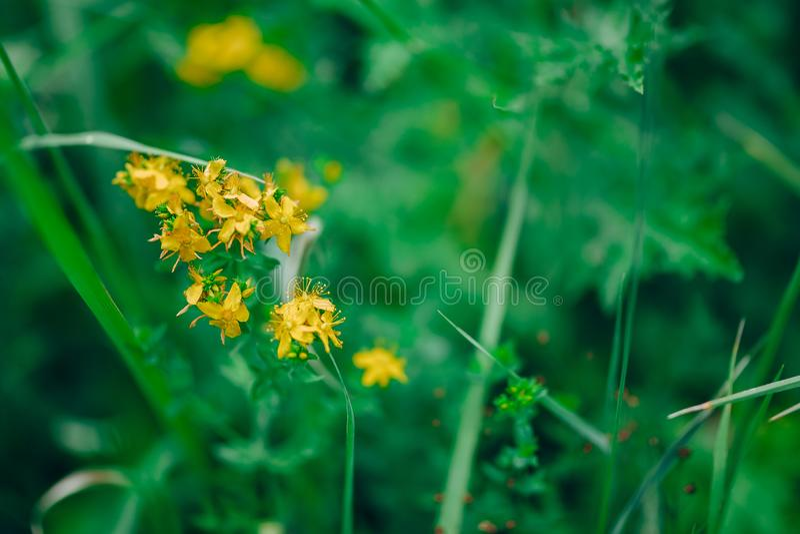 开花草甸,大豆草,女士的床管或黄色床管 白僵菌是一种草本多年生植物 健康植物 库存照片
