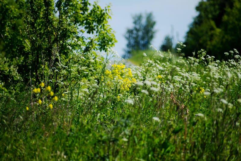 开花的草甸美丽的景色在与天空蔚蓝的一美好的好日子春天 花田背景 图库摄影