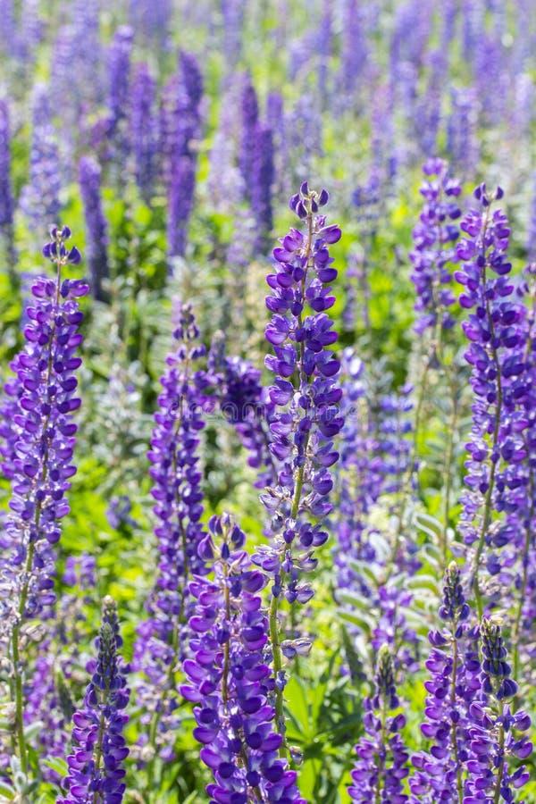 开花的草甸蓝色羽扇豆垂直 蓝色紫色羽扇豆,在夏天草甸的花,野花开花,长的词根与 库存图片