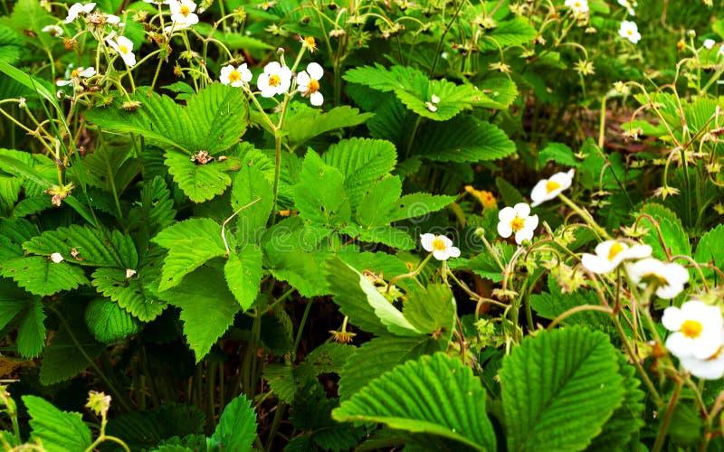开花的草莓灌木 库存照片