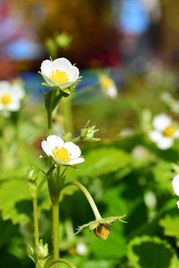 开花的草莓 免版税图库摄影