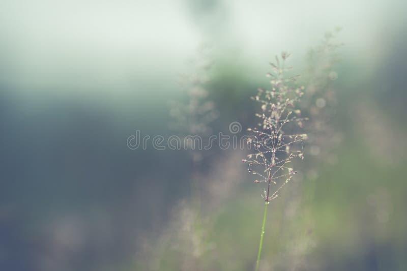 开花的草软的迷离结构  免版税库存图片