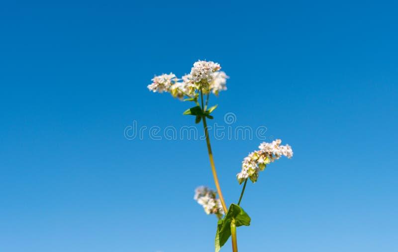 开花的荞麦 免版税图库摄影