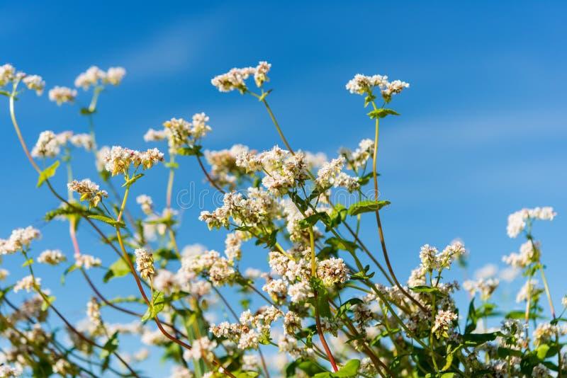 开花的荞麦 库存照片