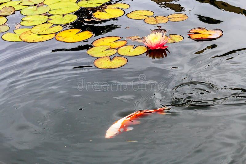 开花的荷花在池塘 免版税库存照片
