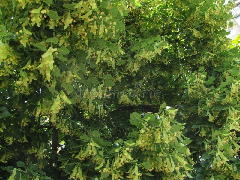 开花的菩提树在阳光下 免版税库存图片
