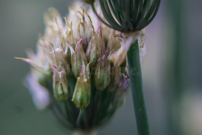 开花的葱在庭院里 库存图片