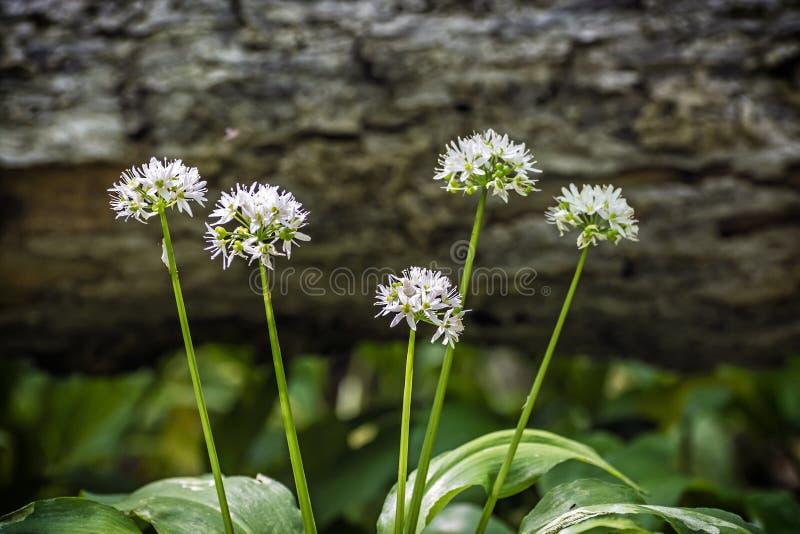 开花的葱属ursinum植物 免版税图库摄影