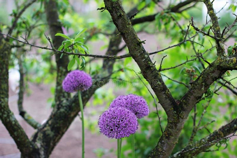 开花的葱 葱在庭院里 免版税库存照片
