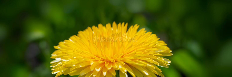 开花的蒲公英花在草甸 设计的横幅 免版税图库摄影
