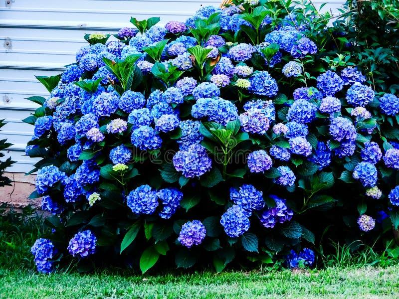 开花的蓝色八仙花属 图库摄影