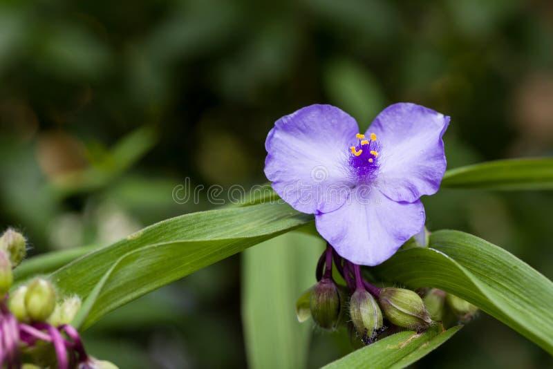 开花的蓝色庭院紫鸭跖草紫露草属特写镜头开花有自然绿色背景 浅深度的域 免版税图库摄影