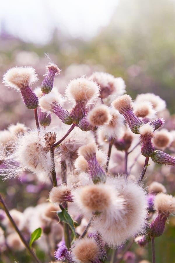 开花的蓟,Cirsium arvense 狂放的蓟草Cirsium arvense,爬行的蓟在夏天 库存图片