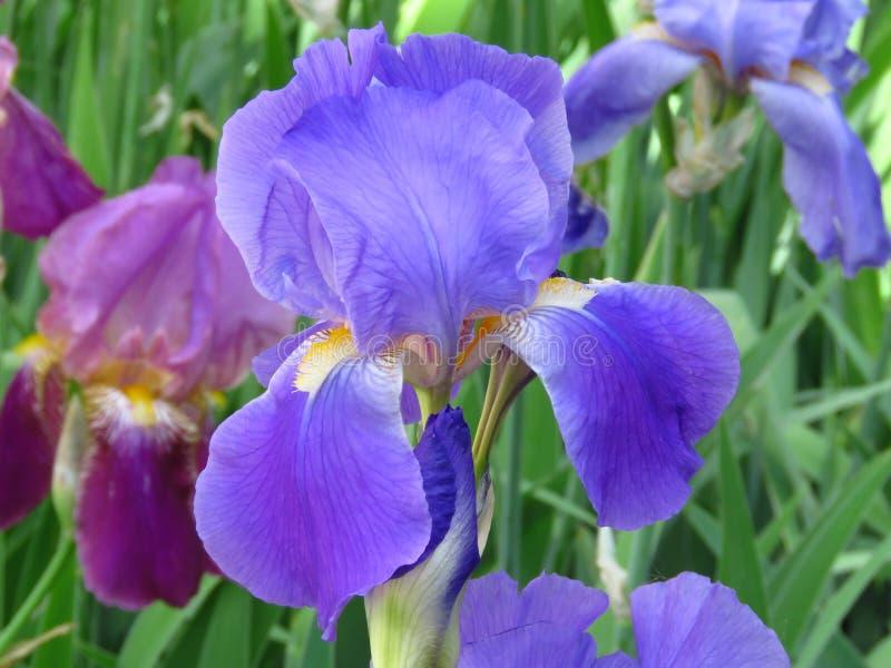 开花的虹膜植物花在庭院公园 r 免版税库存照片