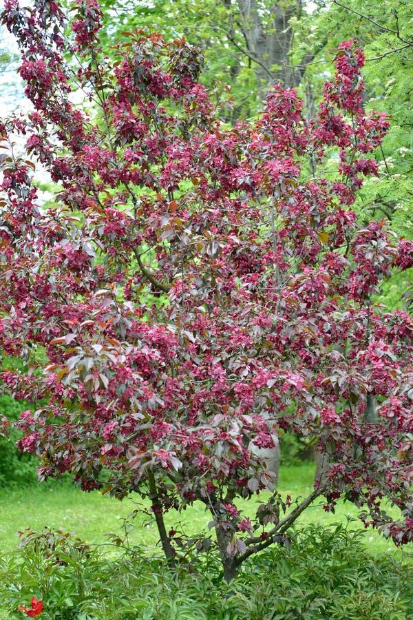 开花的装饰苹果树,皇族等级  免版税库存图片