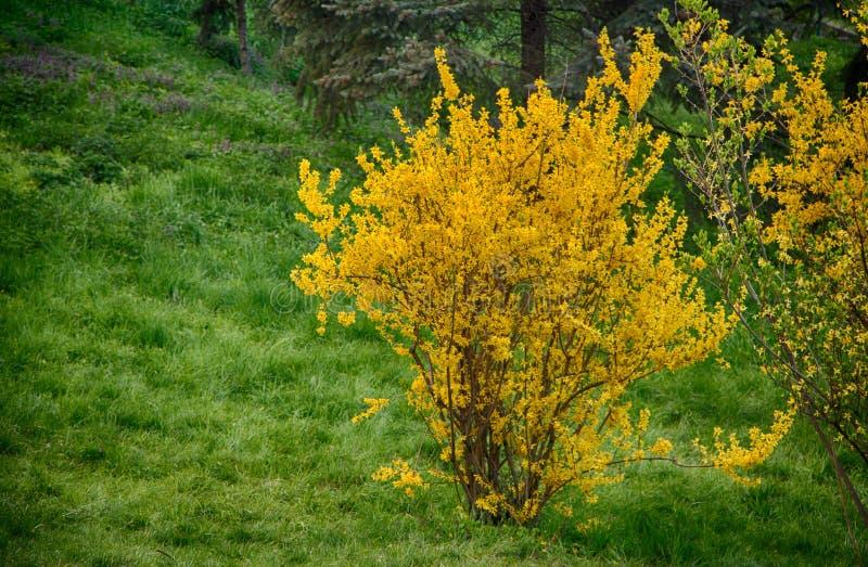 开花的连翘属植物在早期的春天,染黄花 免版税库存照片