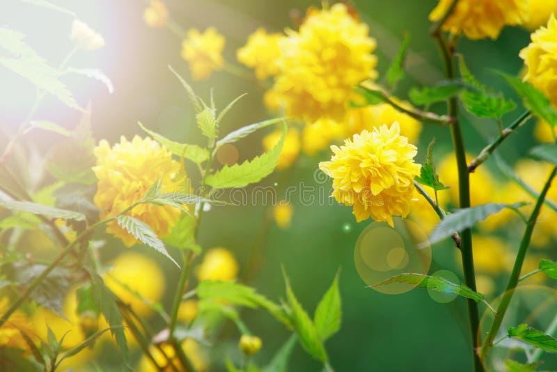 开花的连翘属植物春天,在绿色灌木的黄色头状花序 库存图片