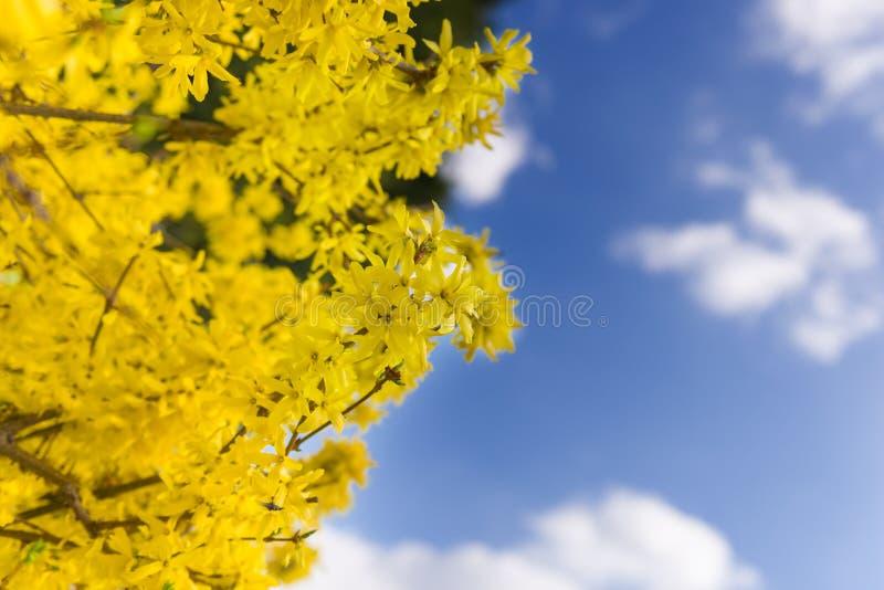 开花的连翘属植物树选择聚焦 免版税库存图片