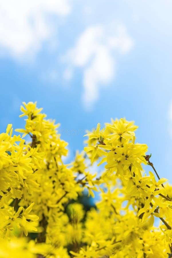 开花的连翘属植物树选择聚焦 库存图片