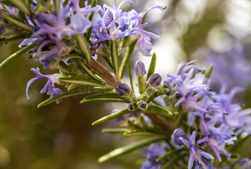 开花的迷迭香枝杈 免版税库存图片