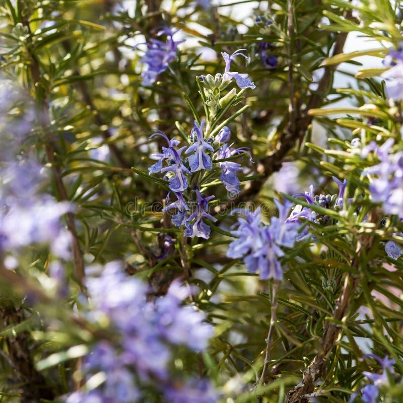 开花的迷迭香枝杈 图库摄影