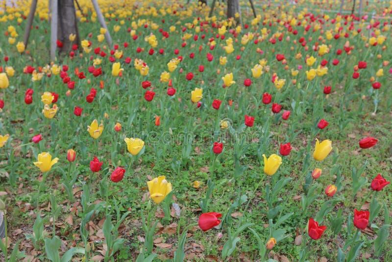 开花的郁金香以全景格式 库存图片