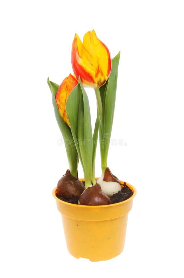 开花的郁金香植物 库存图片