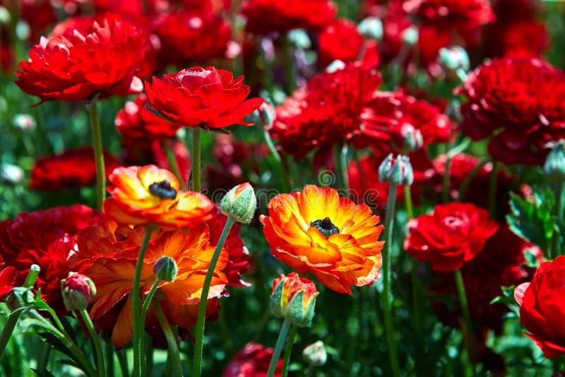 开花的野花,在一个集居区的五颜六色的毛茛在以色列南部 库存图片