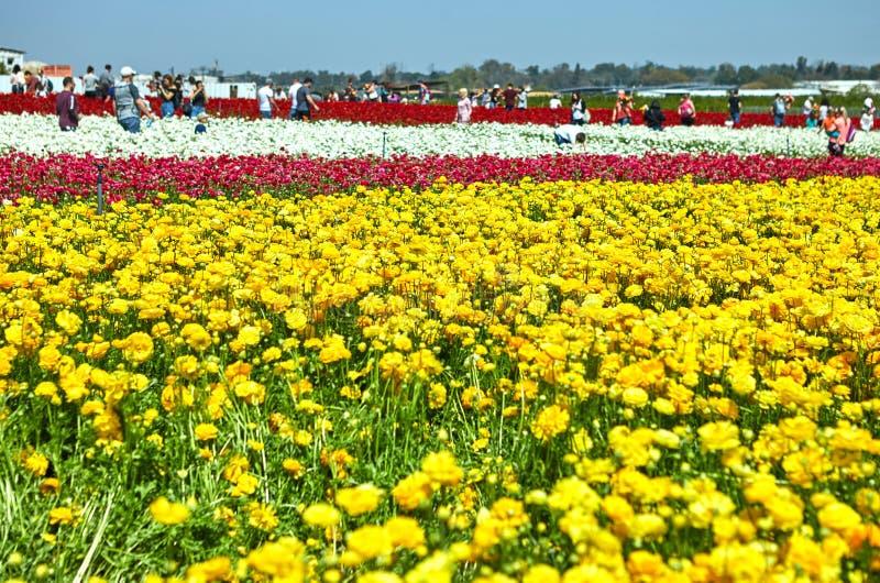 开花的野花,在一个集居区的五颜六色的毛茛在以色列南部 免版税库存图片