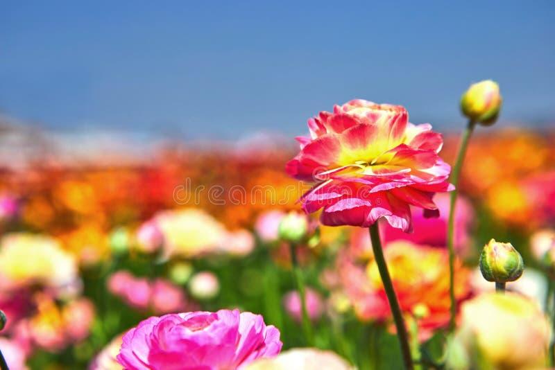 开花的野花,在一个集居区的五颜六色的毛茛在以色列南部 库存照片