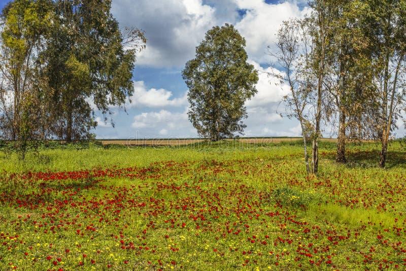 开花的银莲花属在Neqev沙漠在Shocked森林里在2月, 免版税库存图片