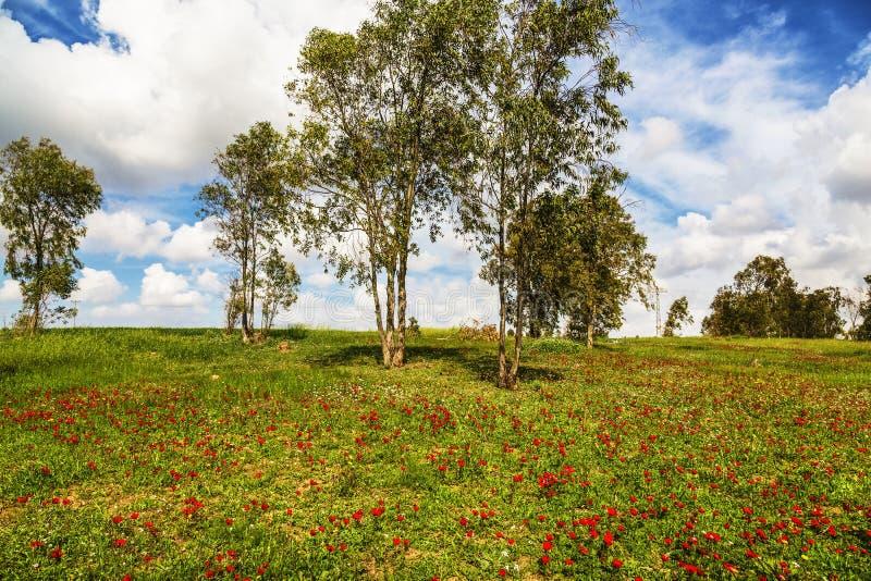 开花的银莲花属在Neqev沙漠在Shocked森林里在2月 免版税库存图片