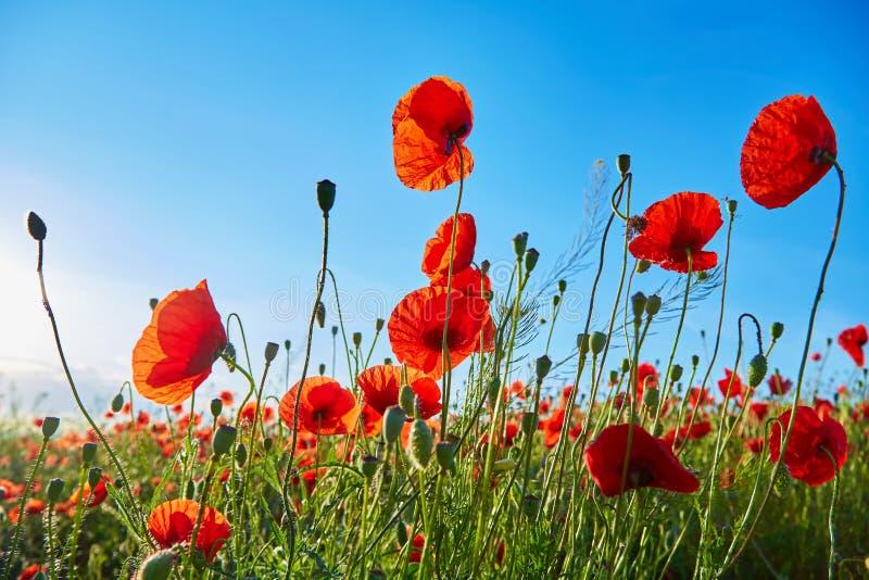 开花的鸦片的领域在一明亮的好日子 在明信片的图片 库存图片
