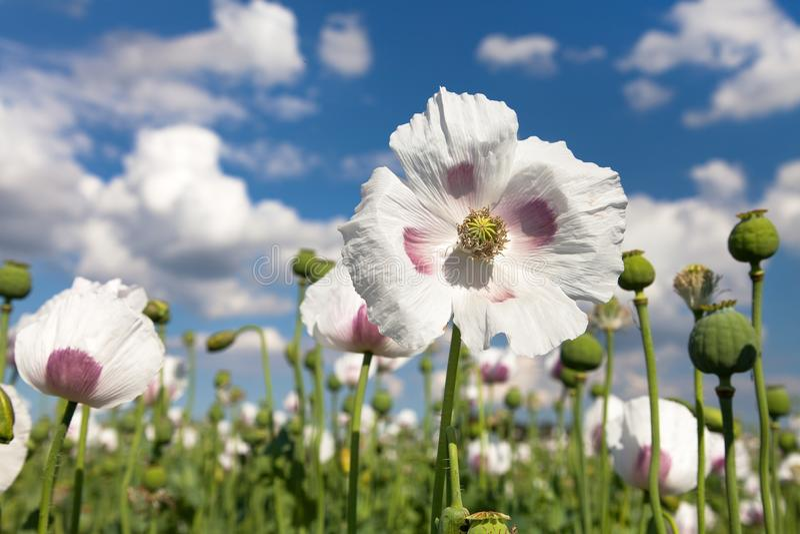 开花的鸦片罂粟细节  图库摄影