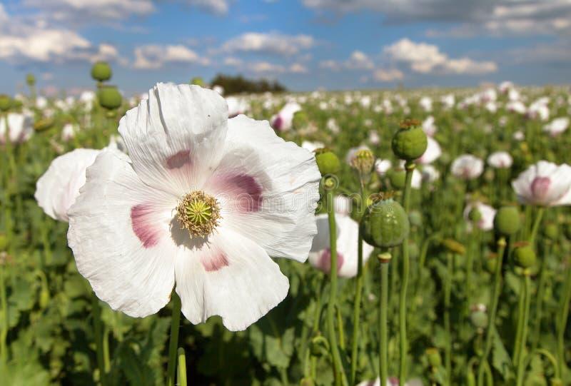 开花的鸦片罂粟,鸦片领域细节  库存图片