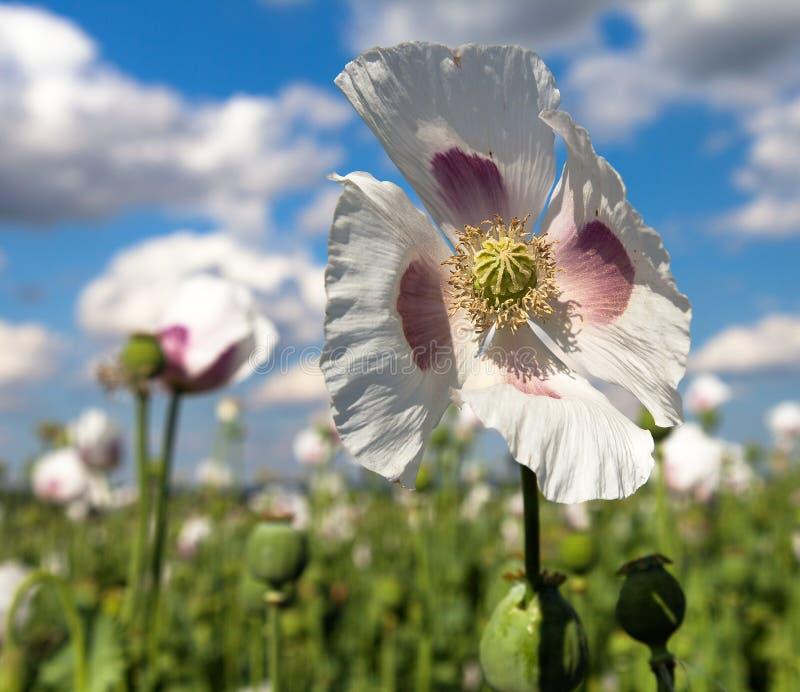 开花的鸦片罂粟,鸦片领域细节  免版税库存图片
