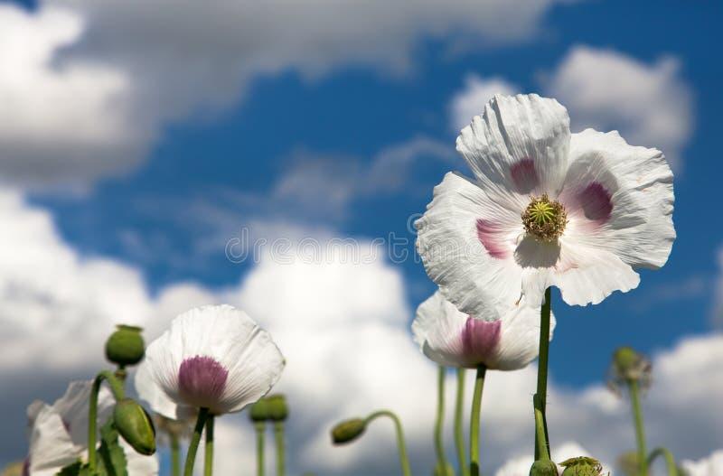 开花的鸦片罂粟,鸦片领域细节  库存照片