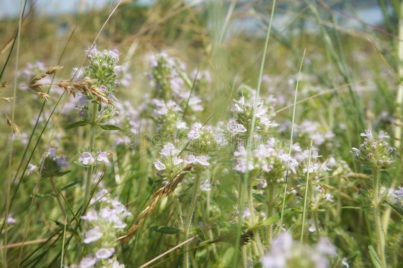 开花的麝香草在干草原的一个草甸 免版税库存图片