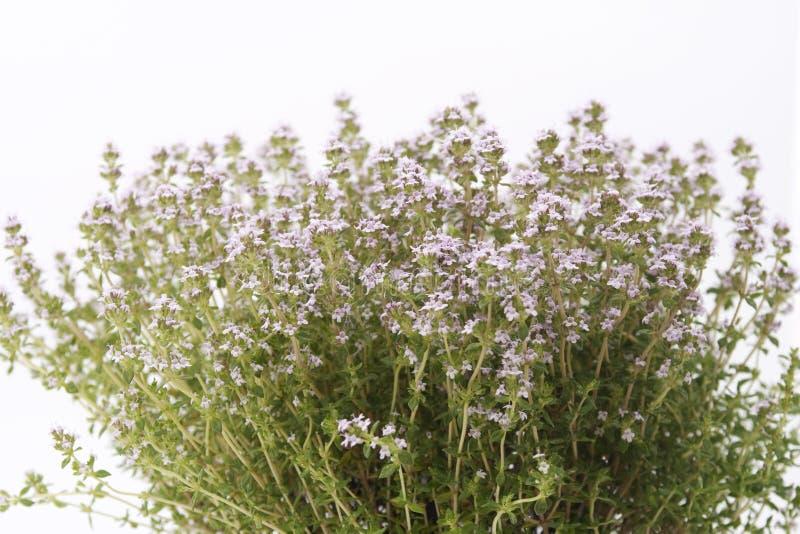 开花的麝香草 库存照片