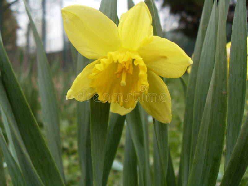 开花的黄水仙黄色一个户外绿色叶子细节 库存照片