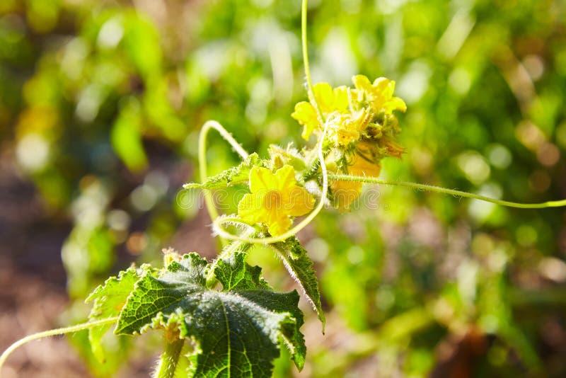 开花的黄瓜在庭院里 选择聚焦 库存照片