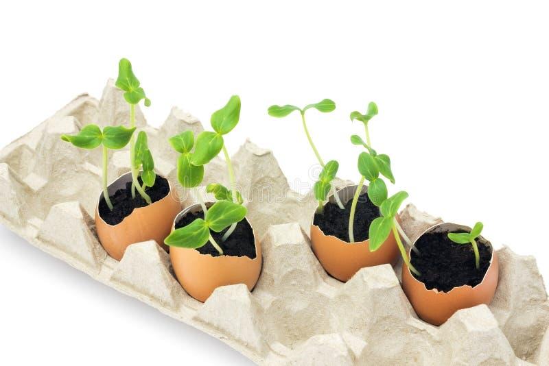 开花的黄瓜幼木,在蛋壳的小新芽照片与在白色背景隔绝的土壤 增长的新芽是 库存照片
