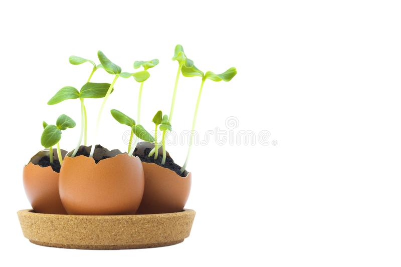 开花的黄瓜幼木,在蛋壳的小新芽照片与在白色背景隔绝的土壤 增长的新芽是 图库摄影