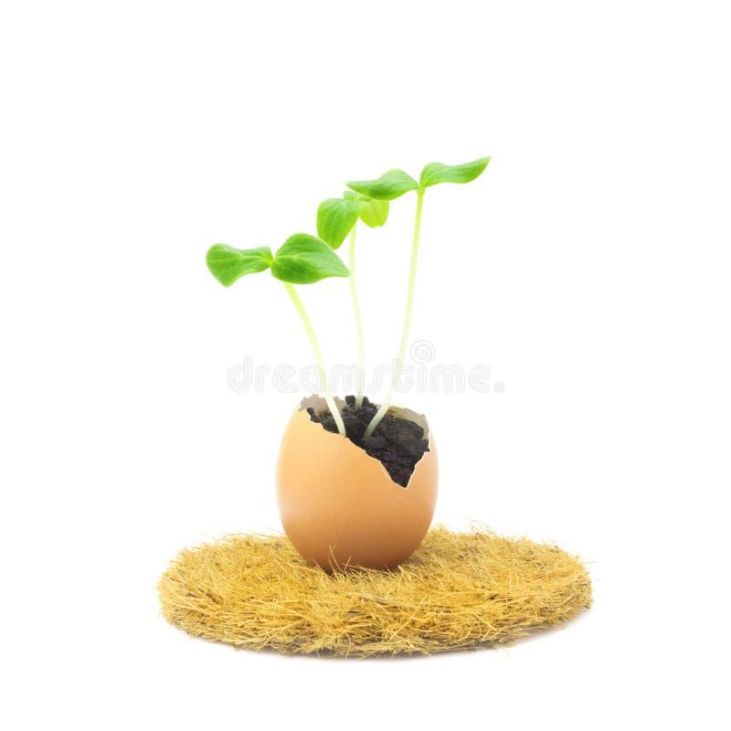 开花的黄瓜幼木,在蛋壳的小新芽照片在白色背景隔绝的椰子垫 增长的新芽是 免版税库存图片