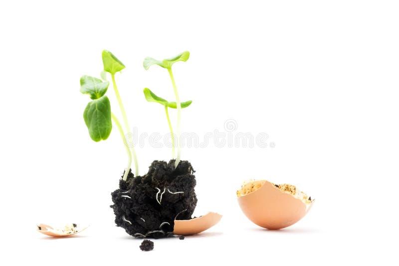 开花的黄瓜幼木,小新芽,与在白色背景隔绝的土壤的残破的蛋壳照片  增长的新芽是 免版税库存照片