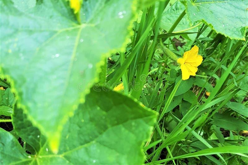 开花的黄瓜灌木在庭院里,黄色花 库存图片