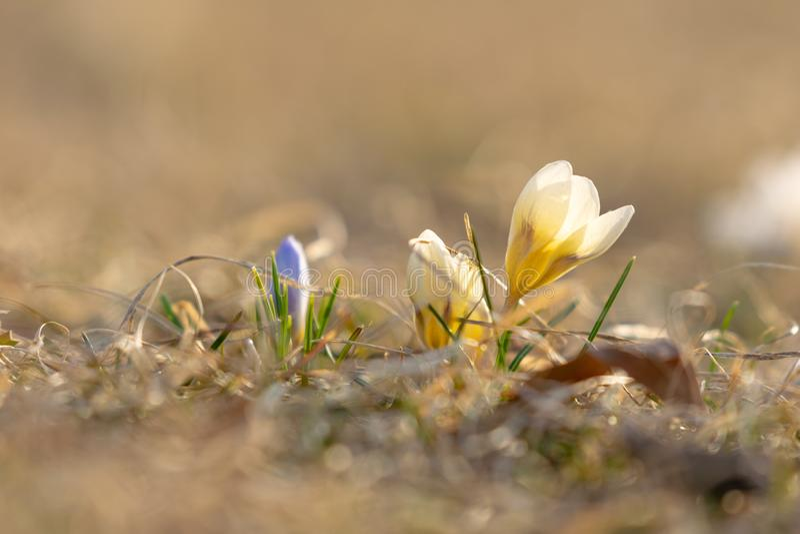 开花的黄色和紫色番红花在早期的春天,反对好的bokeh背景,特写镜头 图库摄影