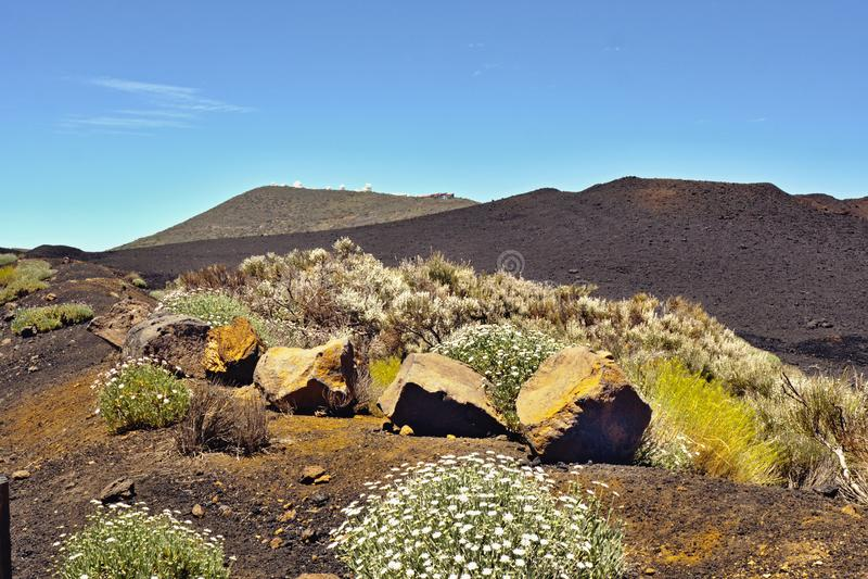 开花的黄色多年生植物和白色延命菊在一座黑熔岩山前面 库存照片
